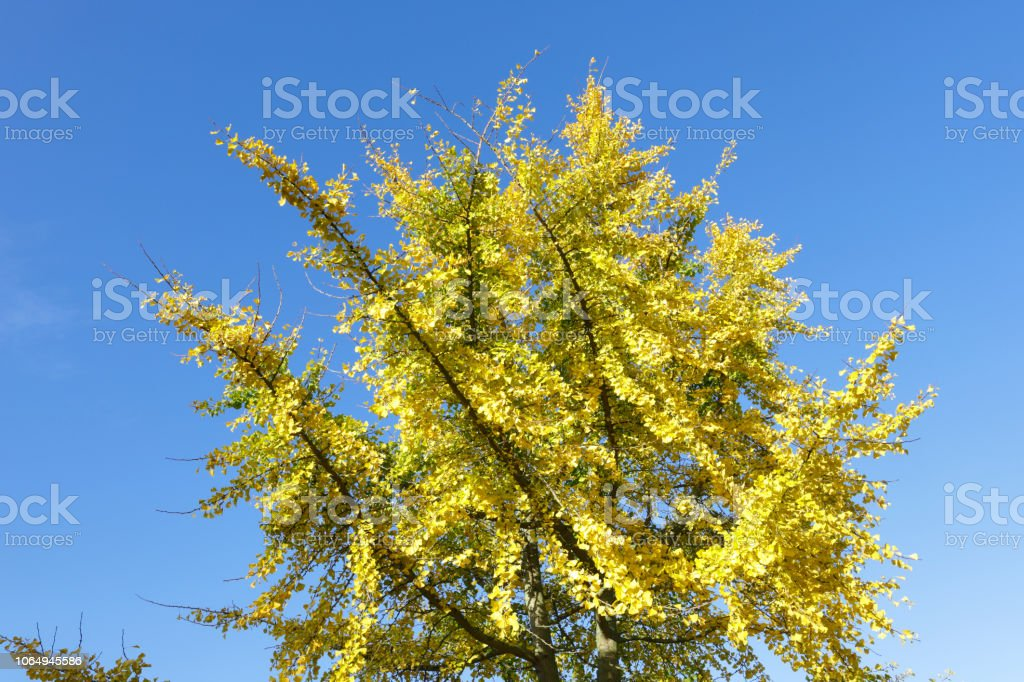 Autumn leaf colour Ginkgo bright yellow leaves stock photo