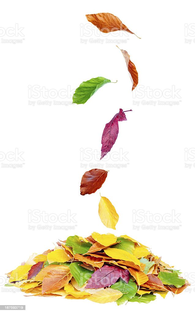Autumn leaf fall royalty-free stock photo
