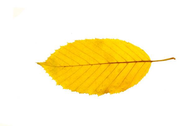 feuille d'automne isolé sur fond blanc - objet jaune photos et images de collection