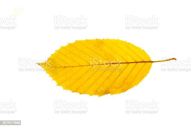 Photo of Autumn leaf isolated on a white background