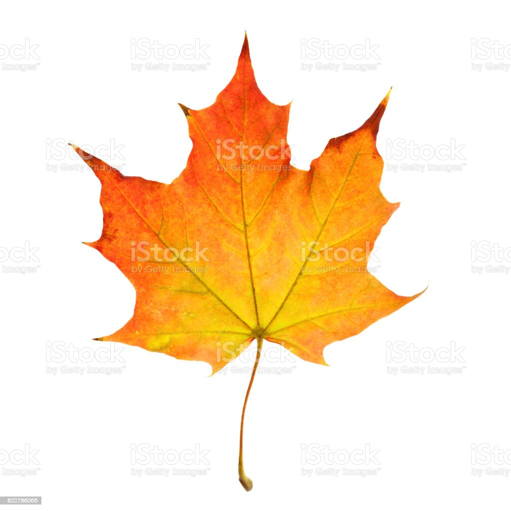Autumn Leaf Isolated on White Background - foto stock