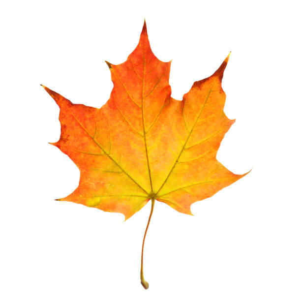 feuille d'automne isolated on white background - objet jaune photos et images de collection