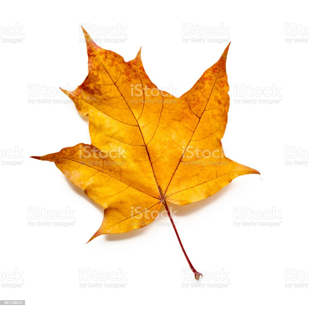 Autumn leaf isolated with clipping path. Maple leaf. stock photo