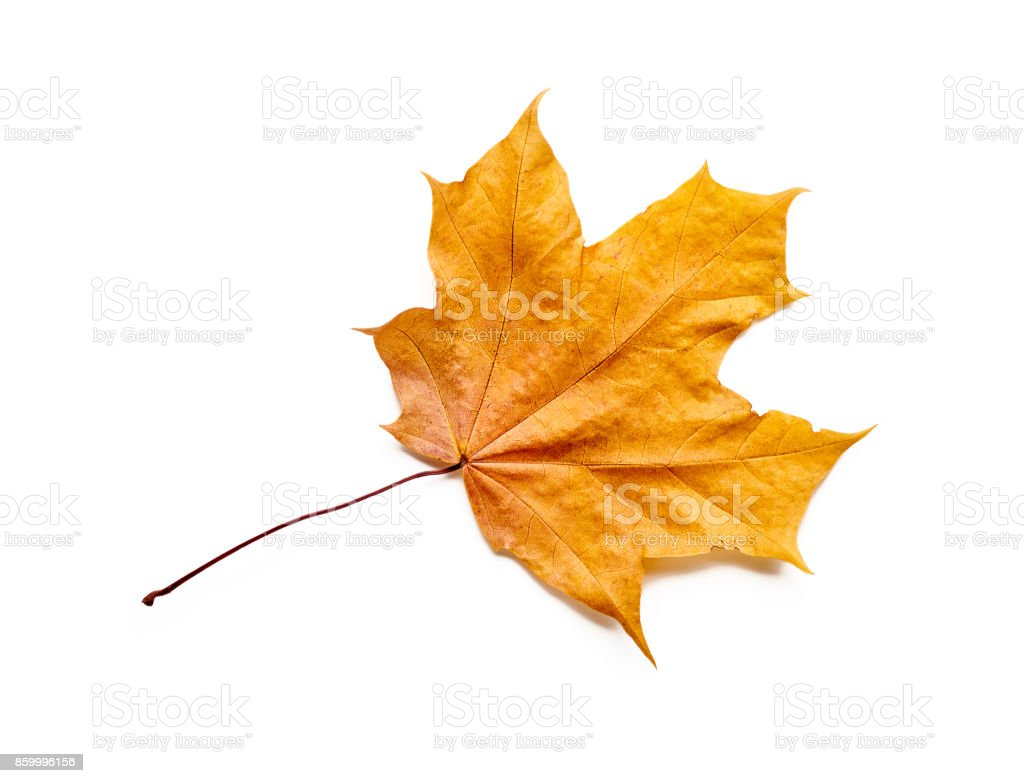 Autumn leaf isolated with clipping path. stock photo