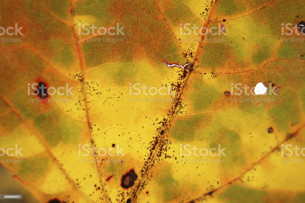 Autumn Leaf Macro royalty-free stock photo