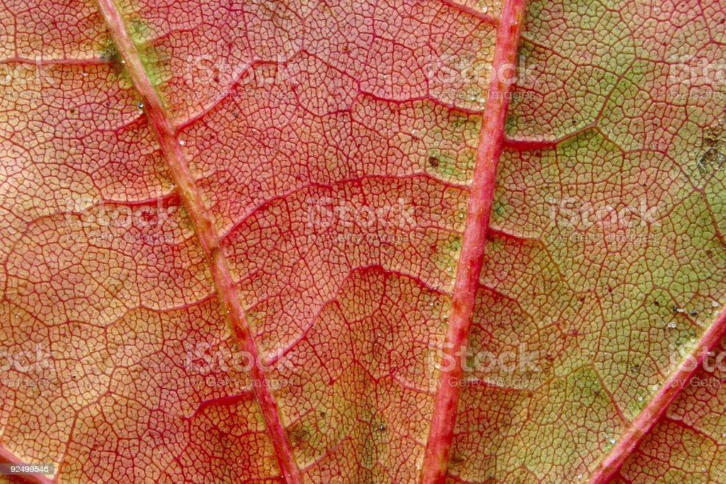 autumn leaf macro #2 royalty-free stock photo