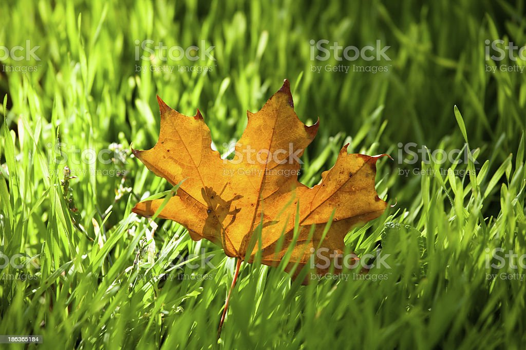 autumn leaf maple royalty-free stock photo