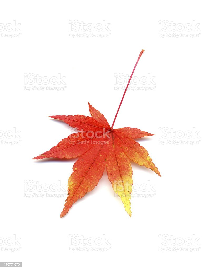 Autumn leaf of japanese maple stock photo