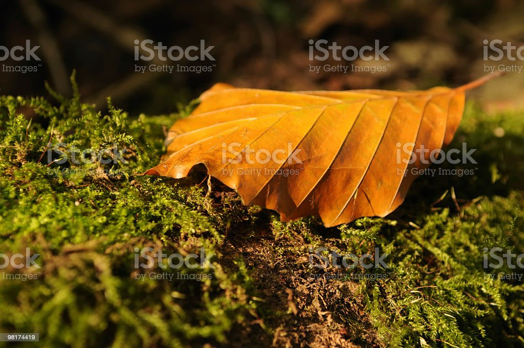 Autumn Leaf on Forest Floor royalty-free stock photo