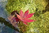 Japanese maple leaf floating on the water