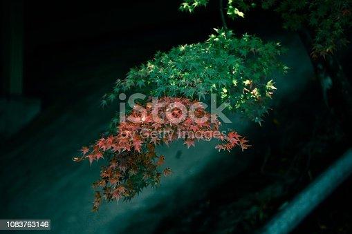 Maple leaf in Japan