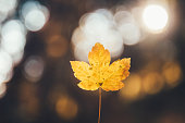 Maple leaf in autumn colors.