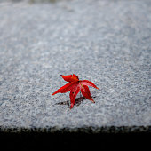 A vibrant red autumn leaf laying on the wet marble ground at Kyoto, Japan.