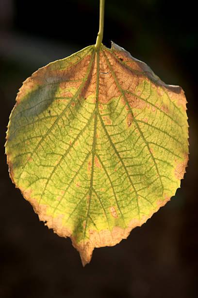 autumn leaf - adomer stok fotoğraflar ve resimler