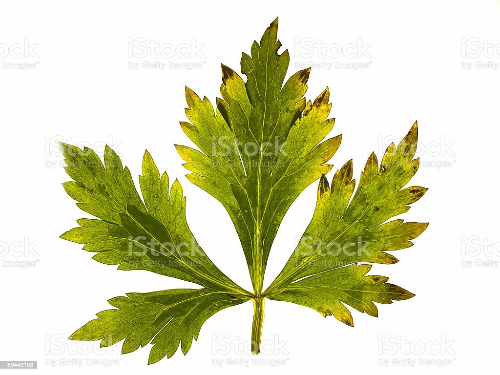 autumn leaf royalty-free stock photo