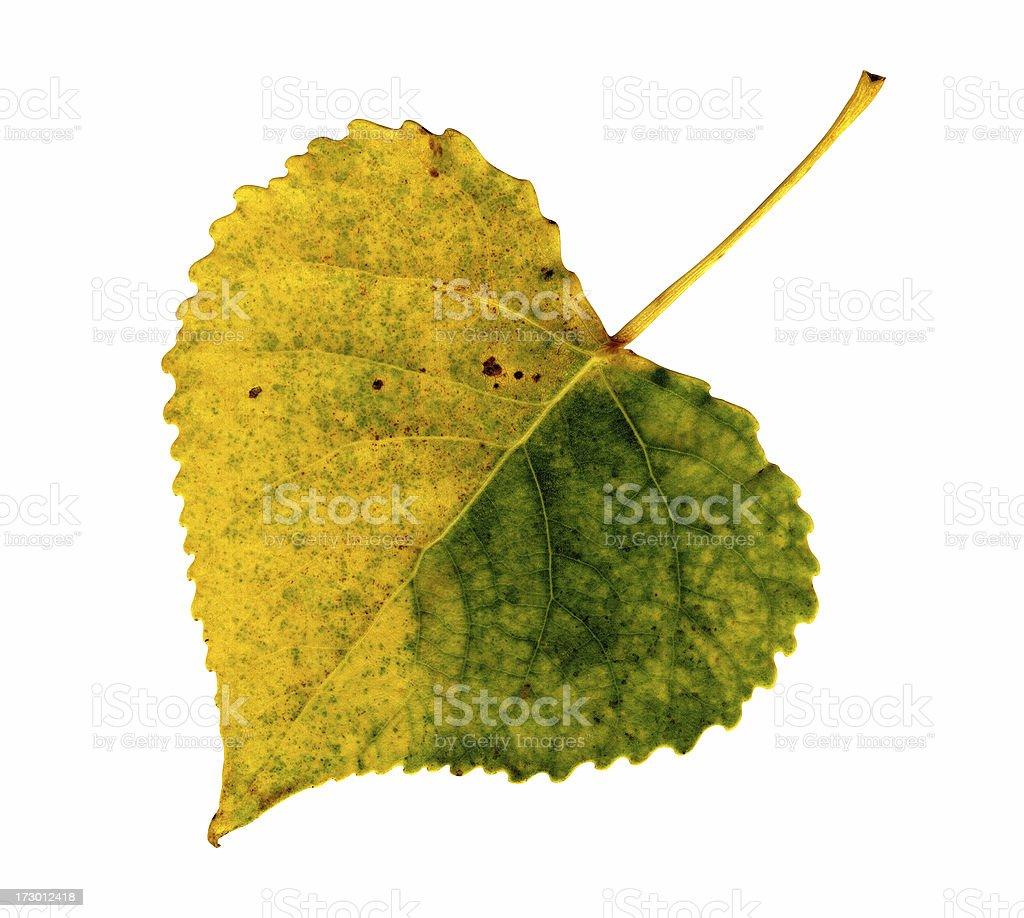 Autumn Leaf: Poplar royalty-free stock photo