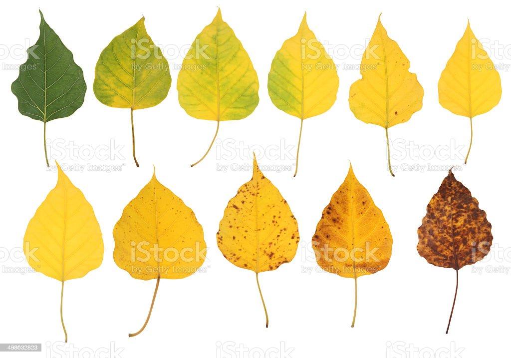 Autumn Leaf Progression stock photo