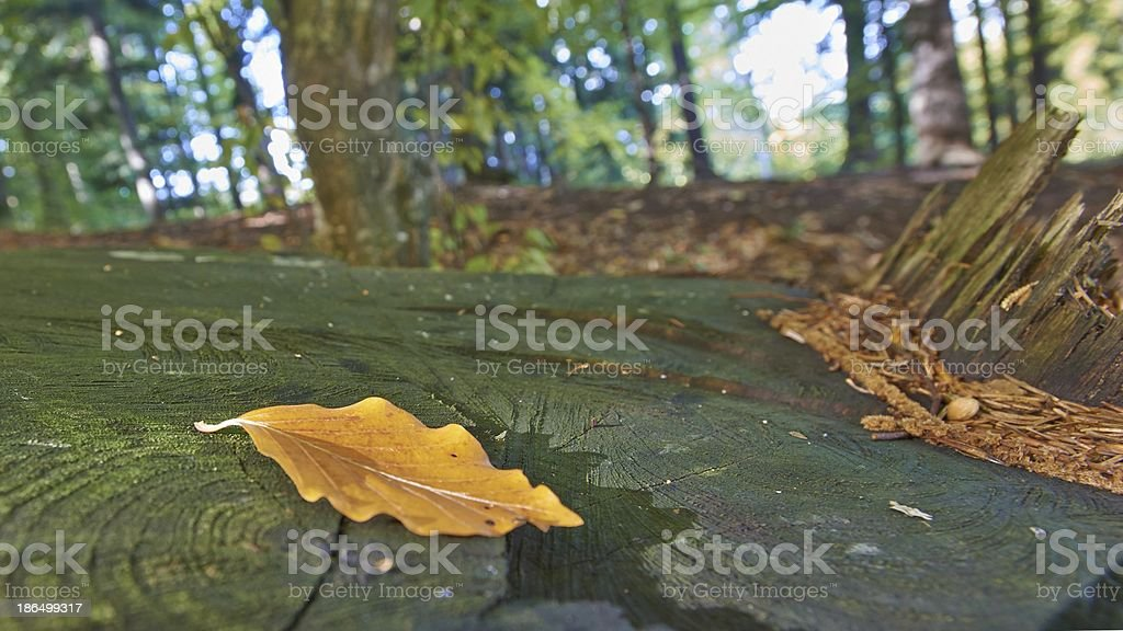 Autumn leaf shined by sun royalty-free stock photo