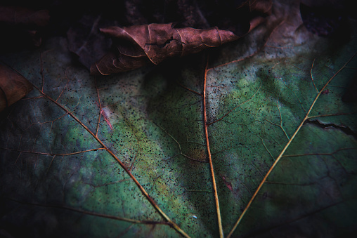 Autumn leafs close up