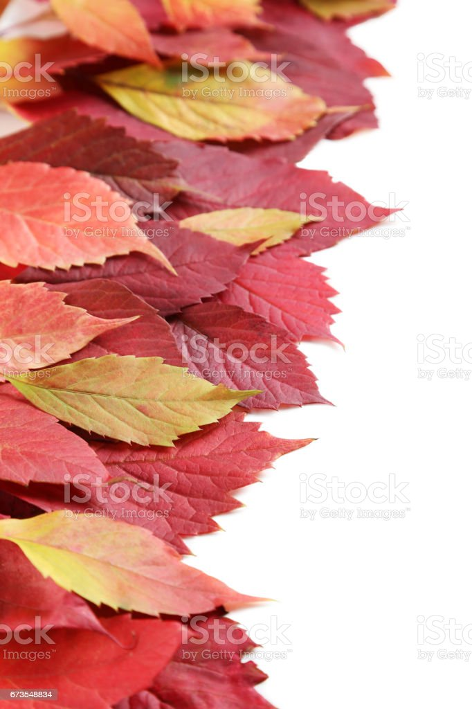 Autumn leafs isolated on white background royalty-free stock photo