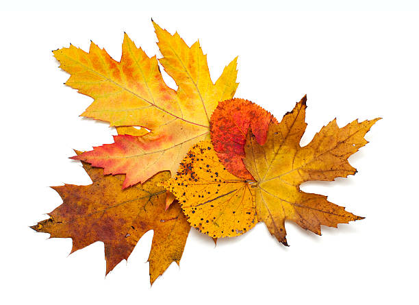 autumn leafs over white - maple leaf stock pictures, royalty-free photos & images