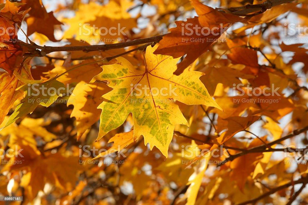 Otoño leafs foto de stock libre de derechos