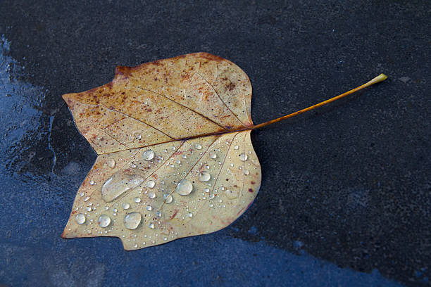 Autumn leave in the rain stock photo