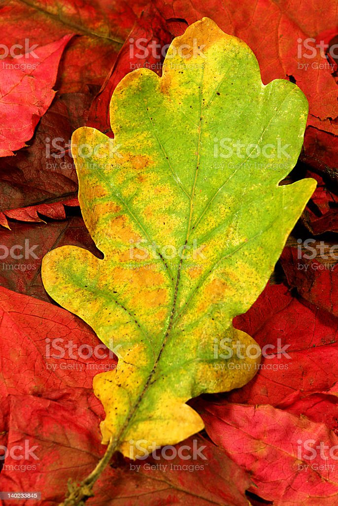 autumn leaves 03 royalty-free stock photo