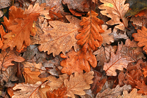 istock Autumn leaves after rain 625881376