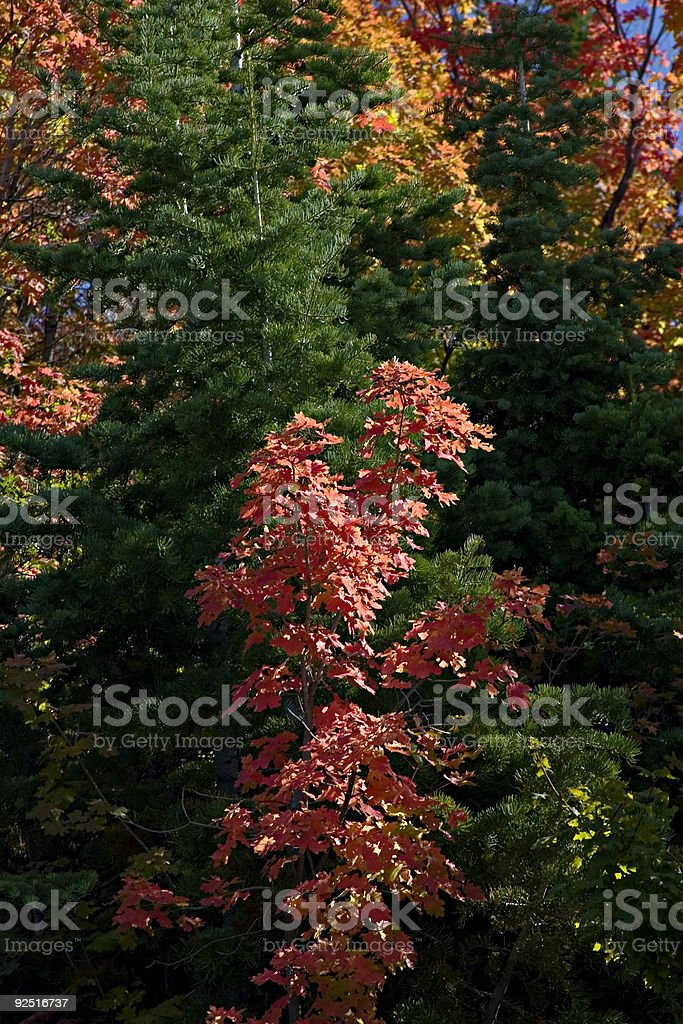 Autumn, leaves against a green pine, royalty-free stock photo