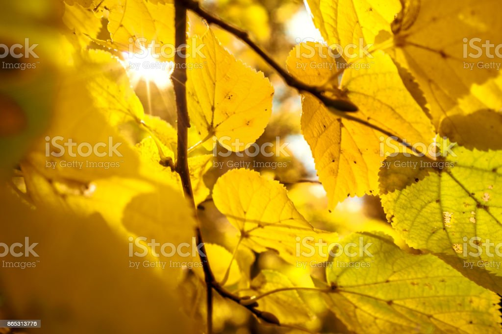 Autumn Leaves against sun stock photo