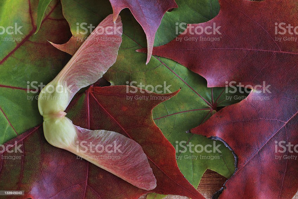 Autumn Leaves and a Maple Tree Seed stock photo