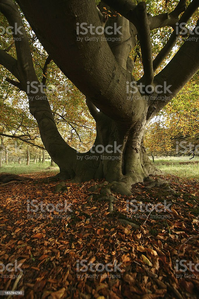 Autumn leaves and beech tree royalty-free stock photo