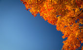 Branch of a Maple tree at peak fall color with a blue sky background. Shot in horizontal orientation with vibrant color and copy space.