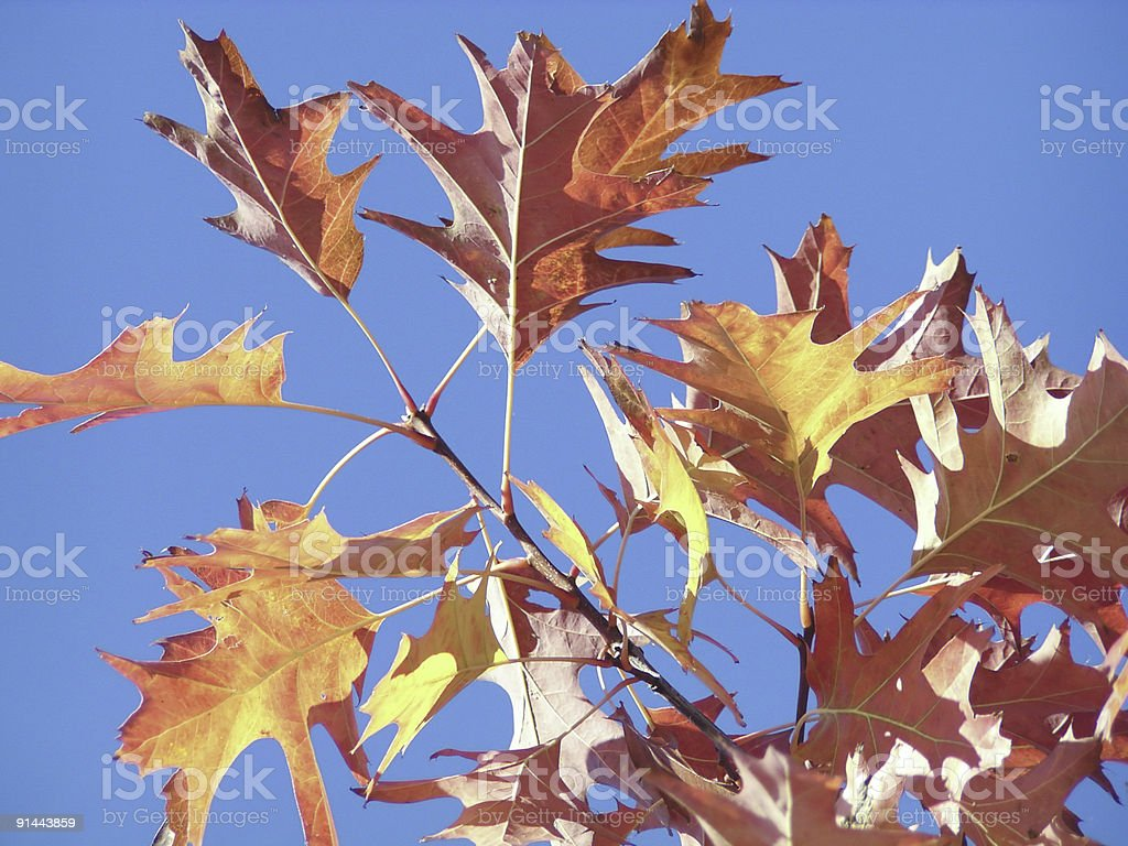 Autumn Leaves and Blue Sky stock photo