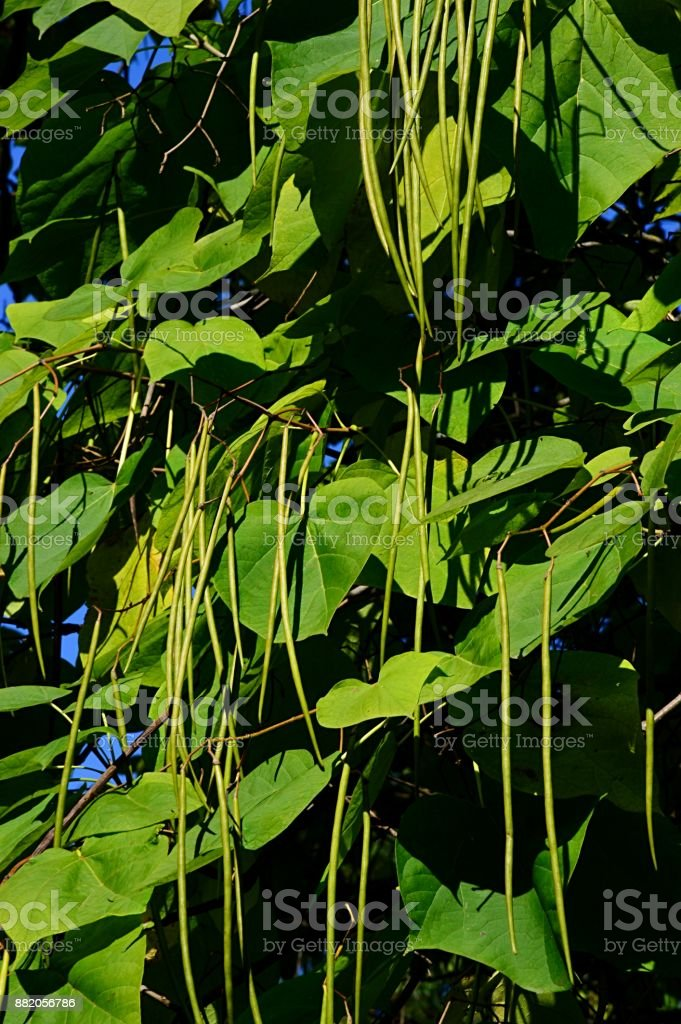 Autumn leaves and elongated seed pods of tree Catalpa Ovata stock photo