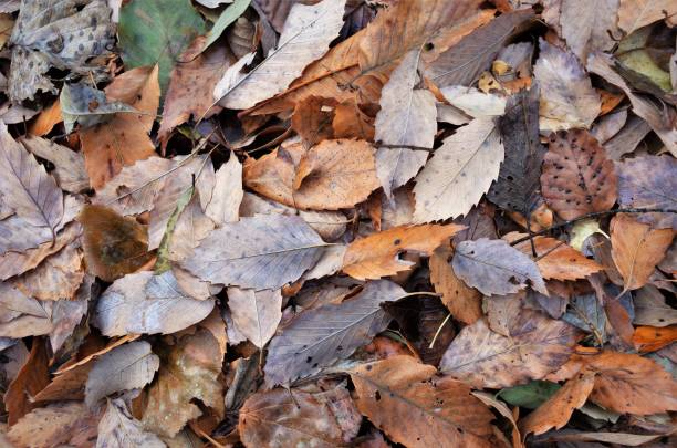 Autumn leaves and fallen leaves stock photo