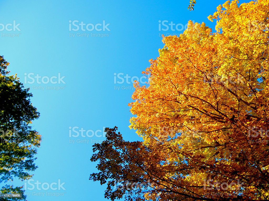 Autumn Leaves and Tree Against Blue Sky stock photo