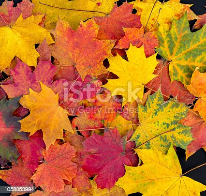 Colorful autumn leaves background. Bright maple leaves