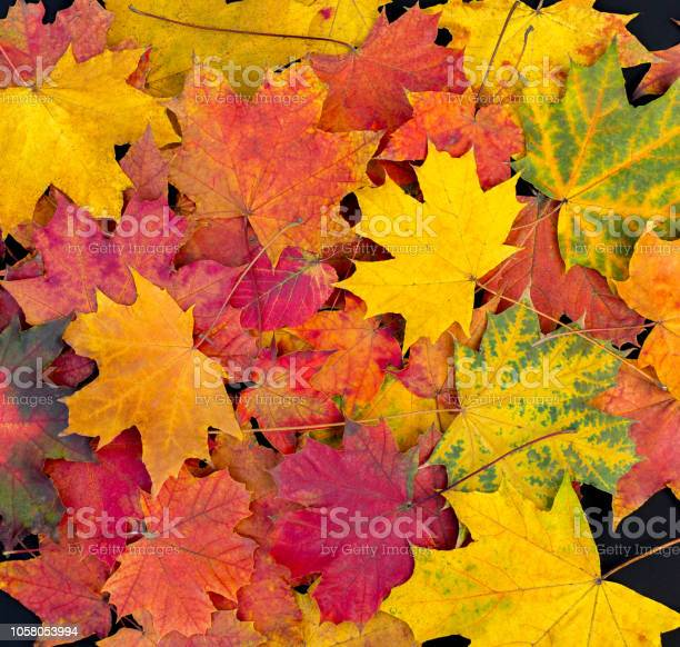 Autumn leaves background bright maple leaves picture id1058053994?b=1&k=6&m=1058053994&s=612x612&h=dmpphju5jydzbp6ezcsugh56s if u yap9ejvbxzme=