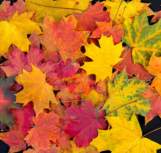 autumn leaves background. bright maple leaves - leaf imagens e fotografias de stock