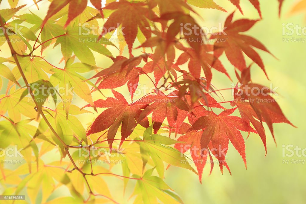 Autumn leaves background, green and red maples on tree. photo libre de droits