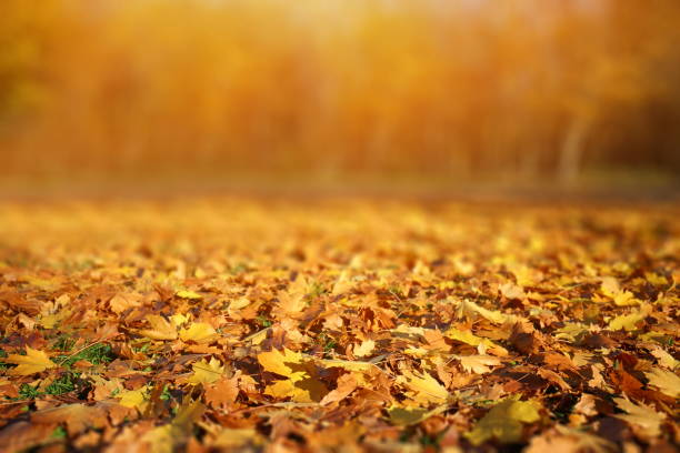 Autumn Leaves Background Falling autumn leaves. autumn leaf color stock pictures, royalty-free photos & images