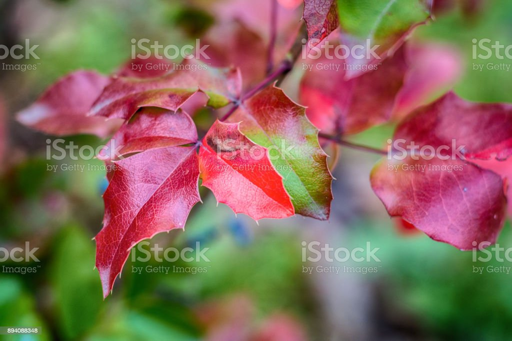 Autumn leaves before falling stock photo