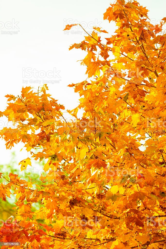 Autumn Leaves Fall Trees Nature Background Stock Photo Download