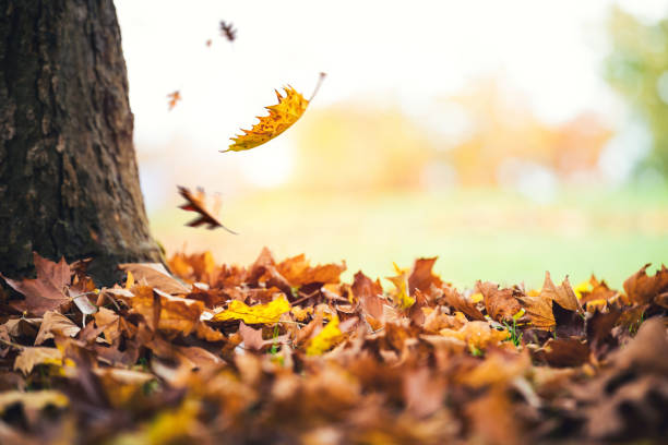 Autumn Leaves Falling From The Tree Autumn leaves falling to the ground in city park. fall leaves stock pictures, royalty-free photos & images