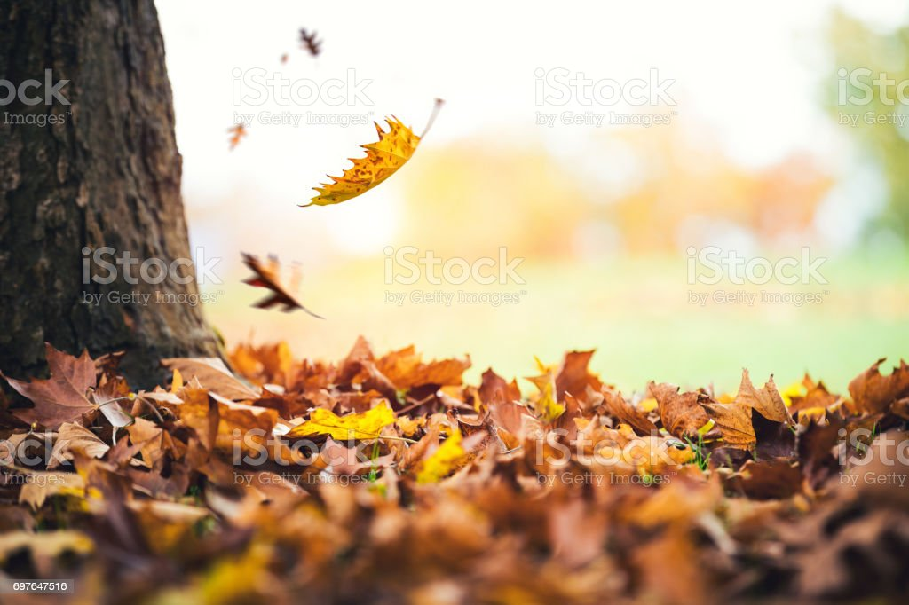 Autumn Leaves Falling From The Tree stock photo