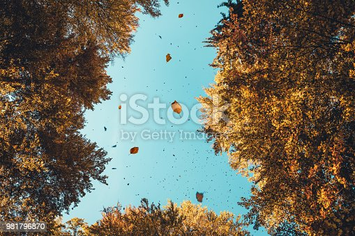 Autumn leaves falling from the trees. View from below.