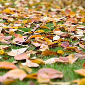 Autumn leaves falling on green lawn.