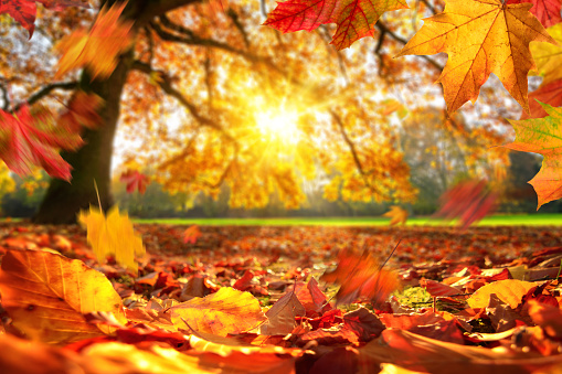 Lively closeup of autumn leaves falling on the ground in a park, with a majestic oak tree on a meadow in the background lit by the sun